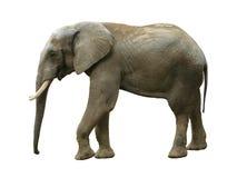 Изолированный слон Стоковое Изображение