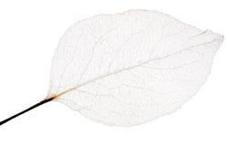 Изолированный тонкий скелет лист Стоковое фото RF