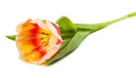 Изолированный тюльпан Стоковое Изображение RF