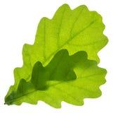 изолированный дуб листьев Стоковые Фотографии RF