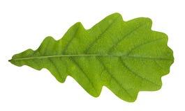 изолированный дуб листьев Стоковое фото RF