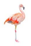 изолированный фламинго Стоковая Фотография RF
