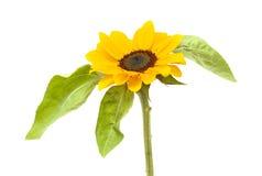 изолированный цветком желтый цвет солнцецвета стержня листьев белый Стоковые Фотографии RF