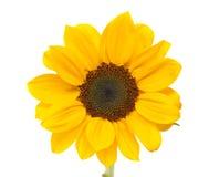 изолированный цветком желтый цвет солнцецвета стержня листьев белый Стоковое Фото