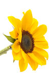 изолированный цветком желтый цвет солнцецвета стержня листьев белый Стоковые Изображения