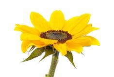 изолированный цветком желтый цвет солнцецвета стержня листьев белый Стоковая Фотография