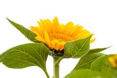 изолированный цветком желтый цвет солнцецвета стержня листьев белый Стоковое фото RF