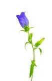Изолированный цветок колокола Стоковое Фото
