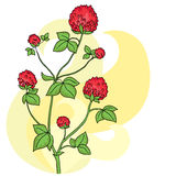 Изолированный цветок клевера Полевой цветок - задний Стоковое Изображение