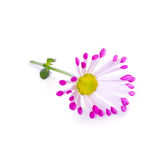 изолированный цветок маргаритки Стоковые Фото