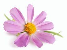 изолированный цветок маргаритки Стоковое Изображение