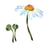 Изолированный цветок маргаритки Wildflower в стиле акварели Стоковое Изображение