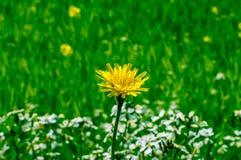 Изолированный цветок одуванчика в поле Стоковое фото RF