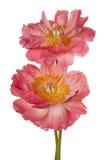 Изолированный цветок пиона Стоковые Изображения RF