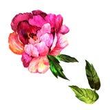 Изолированный цветок пиона Wildflower в стиле акварели Стоковые Изображения RF