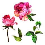 Изолированный цветок пиона Wildflower в стиле акварели Стоковое Фото