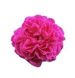 Изолированный цветок розы пинка стоковое фото