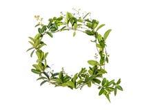 Изолированный цветок creeper алфавита Стоковые Фотографии RF