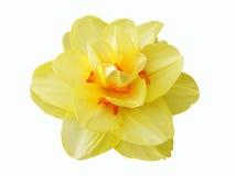 Изолированный цветок Daffodil Стоковая Фотография RF