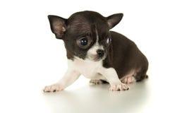 Изолированный щенок чихуахуа Стоковые Изображения