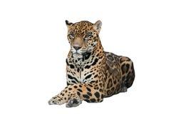 Изолированный ягуар (onca пантеры) Стоковые Фотографии RF
