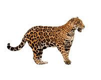Изолированный ягуар (onca пантеры) Стоковое Фото