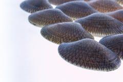 Изолированный clam прибоя крупного плана свежий сырцовый Стоковые Фото