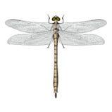 Изолированный Dragonfly Стоковое фото RF