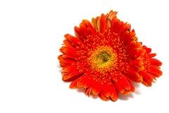 изолированный gerbera цветка Стоковые Фото