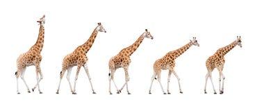 изолированный giraffe Стоковые Изображения