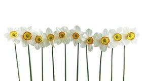 10 изолированных narcissus Стоковое Изображение