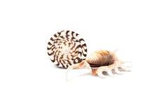 2 изолированных seashells Стоковая Фотография