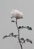 Изолируйте цветок, розу пинка в черно-белом контрасте стоковое изображение