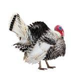 Изолируют красивую птицу индюка на белой предпосылке Стоковая Фотография RF