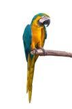 Изолят ары попугая на белой предпосылке Стоковая Фотография RF