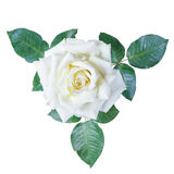 Изолят белых роз Стоковое фото RF