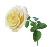 Изолят желтых роз Стоковое Изображение