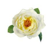 Изолят желтых роз Стоковое фото RF