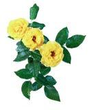 Изолят желтых роз Стоковая Фотография RF