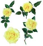 Изолят желтых роз Стоковые Фото