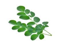 Изолят листьев Moringa на белой предпосылке стоковое изображение rf