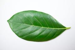 Изолят лист джекфрута на белой предпосылке Стоковое Фото
