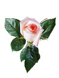 Изолят розы пинка Стоковое Фото