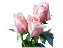 Изолят розы пинка Стоковая Фотография