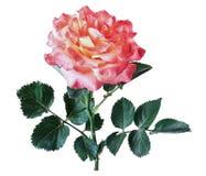 Изолят розы пинка Стоковые Изображения RF