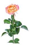 Изолят розы пинка Стоковое Изображение