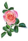 Изолят розы пинка Стоковые Фотографии RF