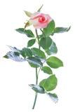 Изолят розы пинка Стоковое фото RF
