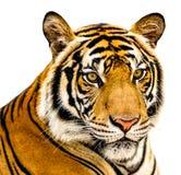 Изолят тигра стоковая фотография