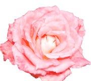 Изолят цветка розы пинка Стоковое фото RF